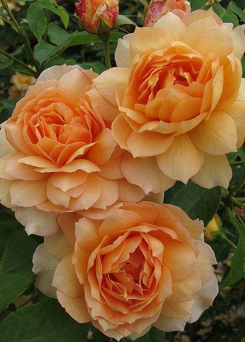 'Grace' * - Austin (2001) - AGM 2012. Doorbloeiend. Zuiver abrikooskleurige, zeer geurende dubbele bloemen (9-10cm). Goed vertakte, ronde struik. Sterk en zeer gezond. H-1,2m, B-1,2.