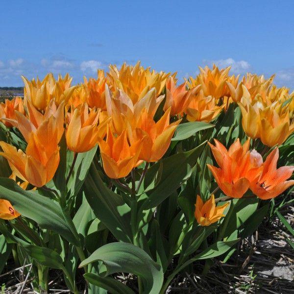 Orange wie Goldblumen blüht die Tulpe Tulipa praestans 'Shogun'. Herrlich nach einem langen grauen Winter! Pflanzzeit für die Blumenzwiebeln ist im Herbst - online erhätlich bei www.fluwel.de