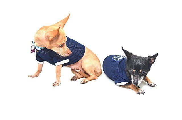 Der Chihuahua wird als kleinste Hunderasse der Welt bezeichnet. Trotzdem ist der Winzling nicht für die Handtasche gemacht, wie es manche Stars und Sternchen vormachen, sondern immer noch ein Hund.