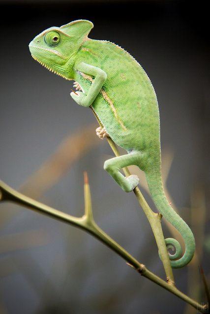 Chameleon by Harald Hoyer