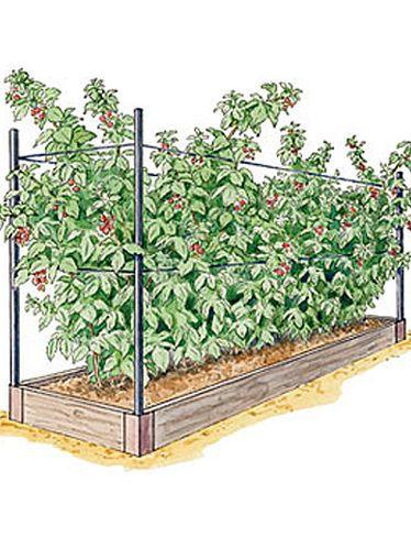 Raspberry Bed 2'x8' 5 plants