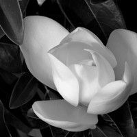 White Magnolia by neco collection on SoundCloud