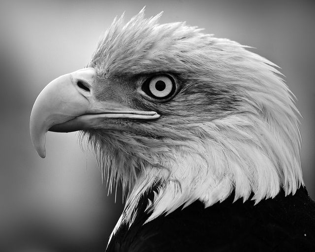 Pix For > Black And White Eagle Photography | Drawing ...