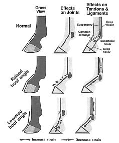 Balancing the Normal Foot: Hoof Preparation, Shoe Fit and Shoe Modification in the Performance Horse