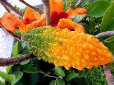 KUDRET NARI FAYDALARI VE ZARARLARI Kudret narı ismi gibi kendisi de çok değişik bir meyvedir. Halk arasında acayip elma olarak bilinir. Yapısı gereği kabağa çok benzemektedir. İn
