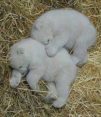 Bebek kutup ayıları uyuyor.