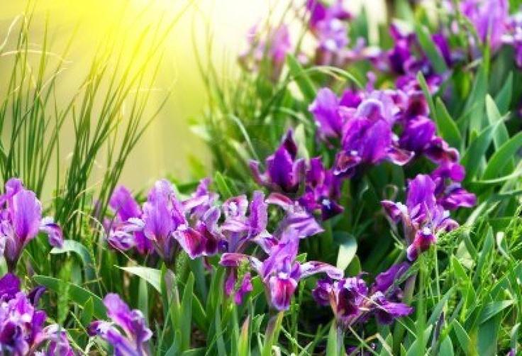 Spring Iris Flowers   http://www.123rf.com/photo_9462977_spring-iris-flowers.html