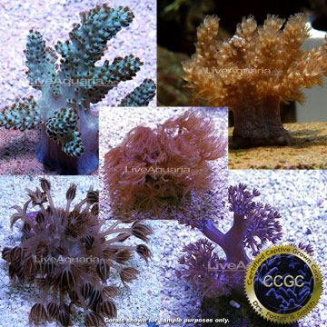 drs foster smith certified soft coral frag 4 pack aquacultured