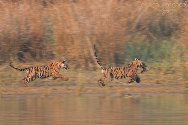 Sairat ………. - (Sairat is Marathi word which Means: Wild) Pandharponi Area, Tadoba. Jan 2016.  From my point of view all the tiger cubs of the world are sairat ………These two cubes which age around 6 months are playing in front of us for 20 to 30 min….  We Feel so thrilled and joy to watch every move they make ….. in this image the first cub pickup the dead leaf of the tree and running and second cub is running behind him….   Canon 1Dx, Canon 500mm +1.4 TC, f8, Iso 400  Enjoy…….