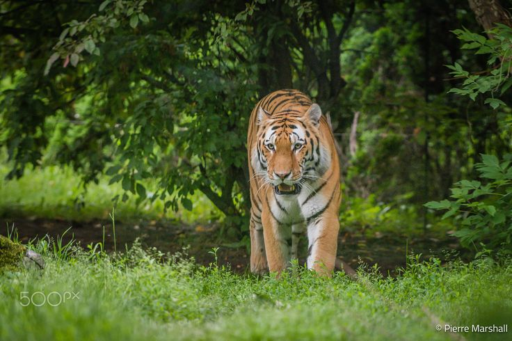 Amur Tiger - While touring the Eastern Township of Quebec, this magnificent Amur Tiger was the highlight of my visit at Granby Zoo.