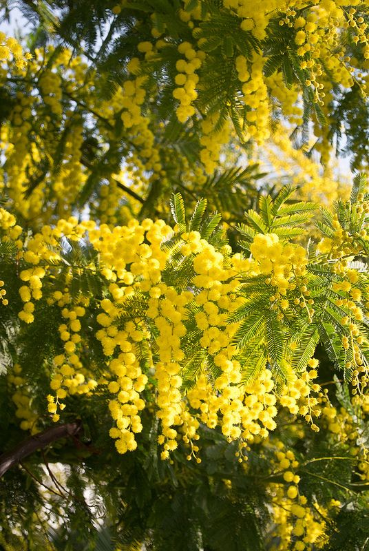 Mandelieu-La Napoule and mimosa in springtime