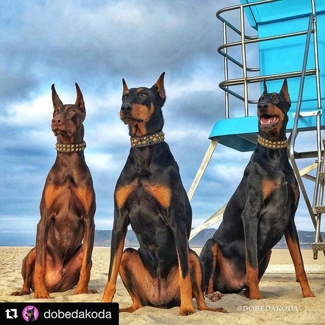 Bay Watch On Duty Follow Dobergear Credit Dobedakoda