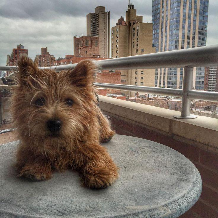 Norwich Terrier @winslowinthecity on Instagram