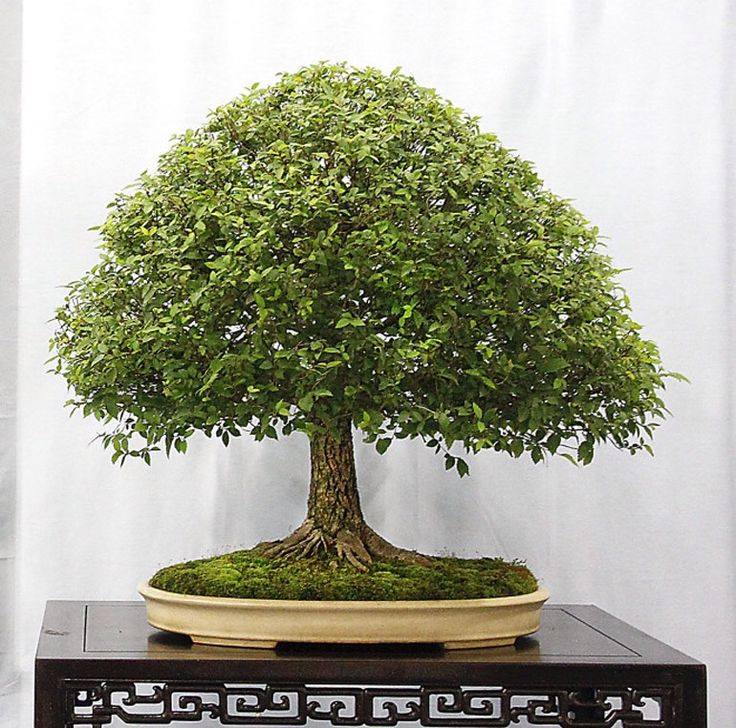 chinese elm bonsai tree in broom style chinese elm bonsai tree