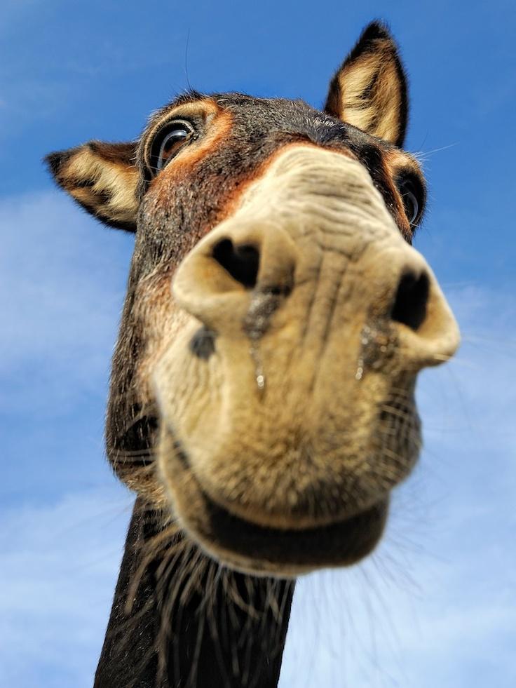 Donkey, Ikaría