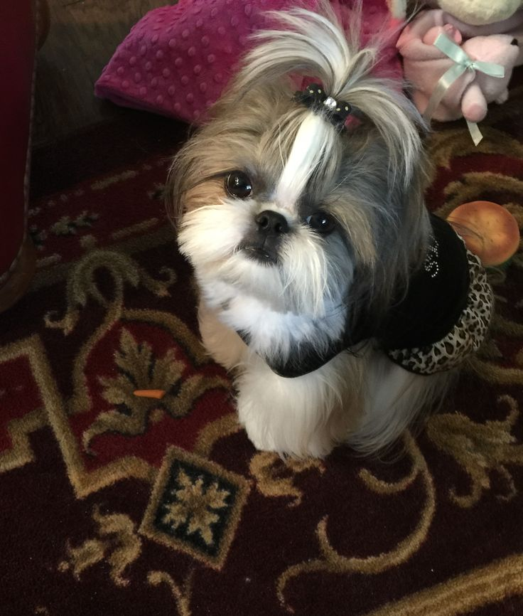 shih tzu topknot 1178 best images about shih tzu puppies on pinterest 5105