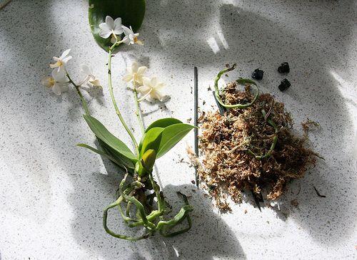 1000 id es propos de fleurs tropicales sur pinterest fleurs exotiques fleurs hawa ennes et. Black Bedroom Furniture Sets. Home Design Ideas