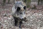 Hog Hunting in Sarasota County, Florida | eHow