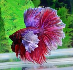 Lavender Red Big Ear Rosetail Betta