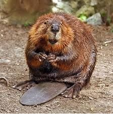 Beaver that looks quite diabolical wouldn't you say?