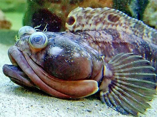 Sarcastic fringehead aggressive big mouth tropical for Big mouth fish