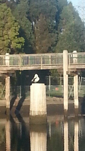 Pelican on the Cooks river
