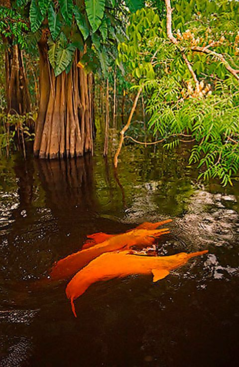 SeaWayBLOG: Botos, the amazon river dolphins that shapeshifted into handsome young men