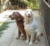 DOGBAUER Cibo per cani allevatori Il setter Irlandese Albino di Elisabetta