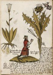 Art from an old book about plants and herbs, via British Library. Harley MS 3736, f. 20