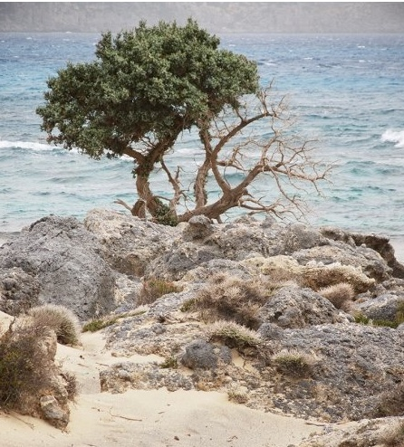 Cedar tree, at the Elafonisi coast
