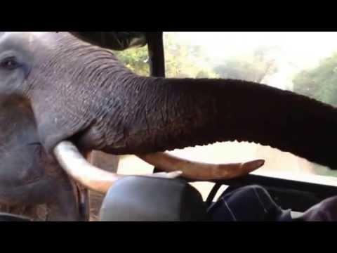 Elephant moving towards tourists. Excellent border