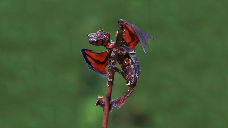 OMG...A Real Life Dragon!! The Satanic Leaf-Tailed Gecko Is Awesome! - PHUNRISE