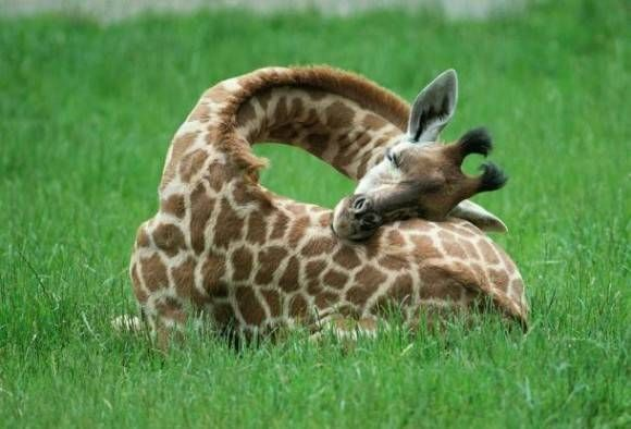 This is how a baby giraffe sleeps. #cute #melbourne #giraffe