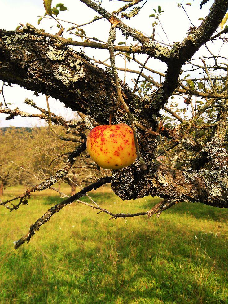 Na vysušenom strome jedno pekné jabĺčko ♥