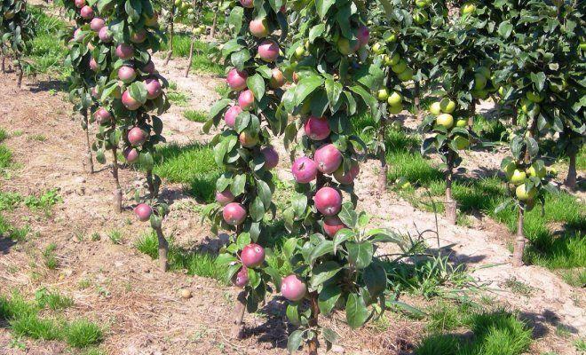 www.ogorod.ru: Колоновидные яблони