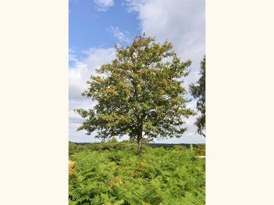 Rowan (Sorbus aucuparia) - British trees - Woodland Trust