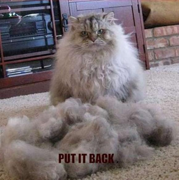 I wonder how it looked like beforeLaugh, Funny Pics, Funny Animal Pictures, Funny Pictures, Funny Cat, Funnypictures,  Angora Rabbit, Humor, Kitty