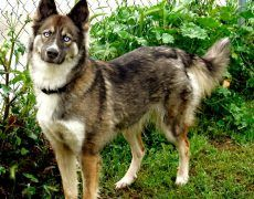 Gerberian Shepsky ( German Shepherd Siberian Husky Mix) Facts, Temperament, Training, Puppies, Pictures