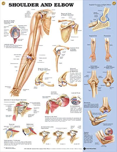 Shoulder and Elbow anatomy poster shows anterior, posterior, lateral, and superior view of the shoulder with key muscles.