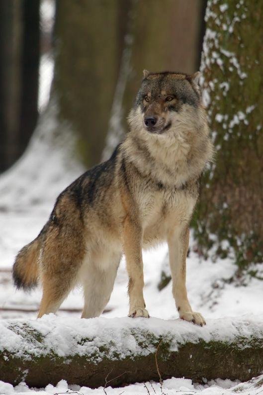 190 best images about animals wolves on pinterest. Black Bedroom Furniture Sets. Home Design Ideas