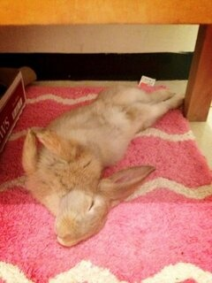 This is one comfy bunny! <3