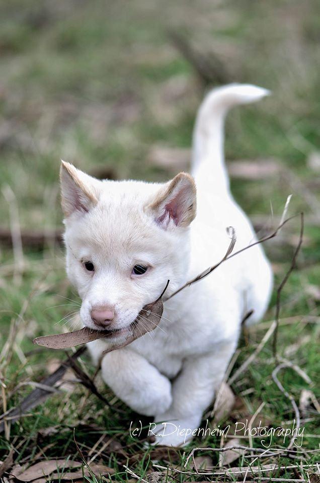 https://flic.kr/p/vADNMy | White dingo puppy fetching stick
