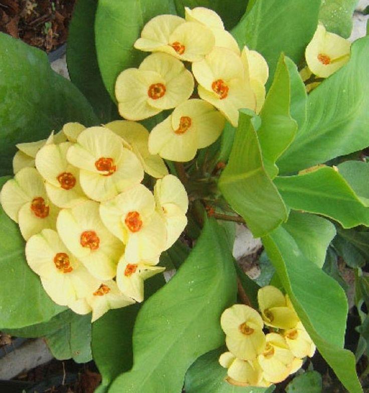 NEW! Crown Of Thorns Euphorbia Milii Corona de Cristo  'Crown Royale' Succulents #Thaihybrid