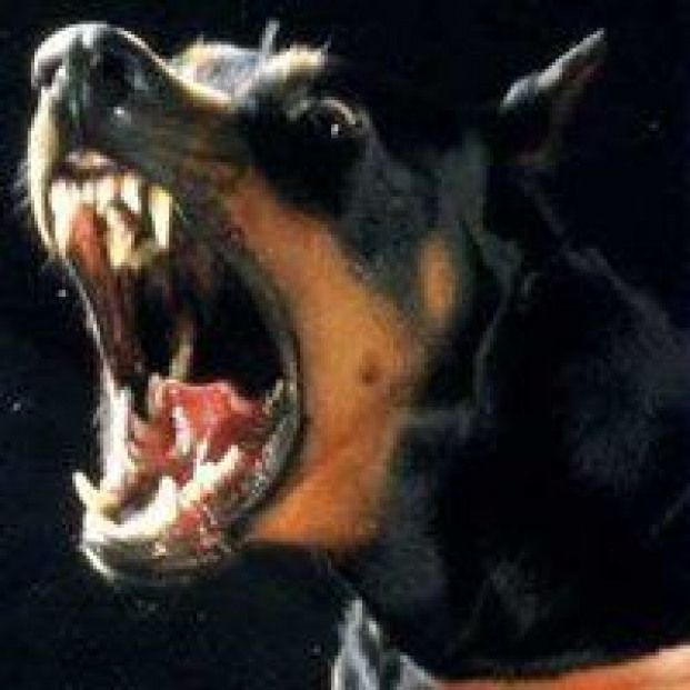 Dog Rottweiler Barking Snarling Aggresive Pictures Images