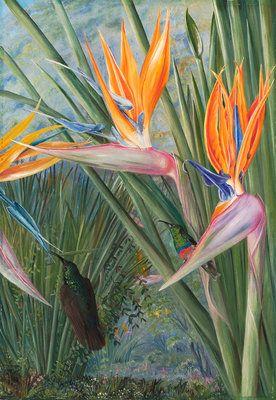 365. Strelitzia and Sugar Birds, South Africa. botanical print by Marianne North