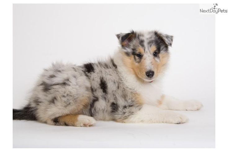 Meet Puppies Coming! a cute Collie puppy for sale for $900. Puppies are coming soon!