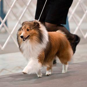 Shetland sheepdog - showing the happy feet!