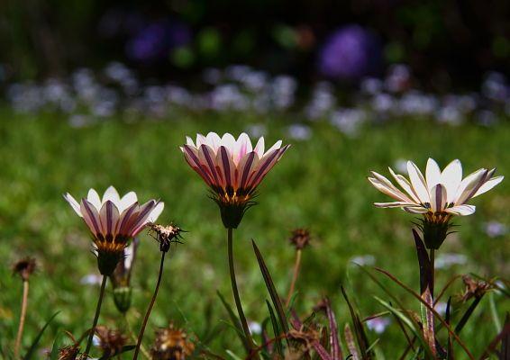 Sabedoria e inteligência com as flores Tem dias que pareço mais descompensada, penso em algo, fico com aquilo na cabeça. Quero por quero, mais um vaso de gerânios vermelhos, já tenho um embaixo do cipreste. Meu gosto por jardim está despertando, logo agora, bem próximo do inverno.  Verdade absoluta, quando se quer, fazer planos, pensar muito - as forças poderosas da vida fazem acontecer. Fui até Canela, comprar meus pães e bolos preferidos ( a vantagem de morar bem perto de cidades pequenas…