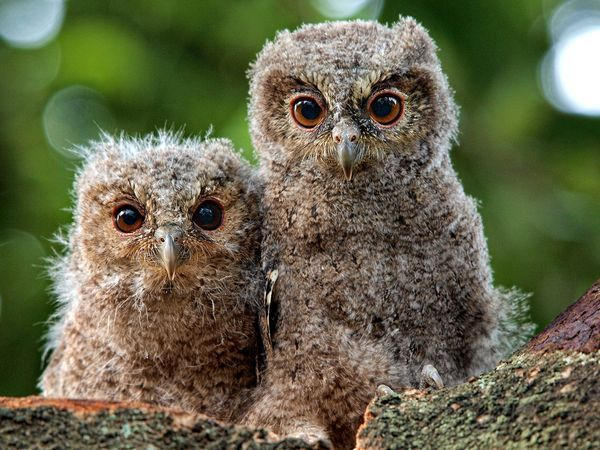 These two owlets are known as Sunda scops (Otus lempiji). They had just hatched from their eggs a few weeks before this photo was taken.
