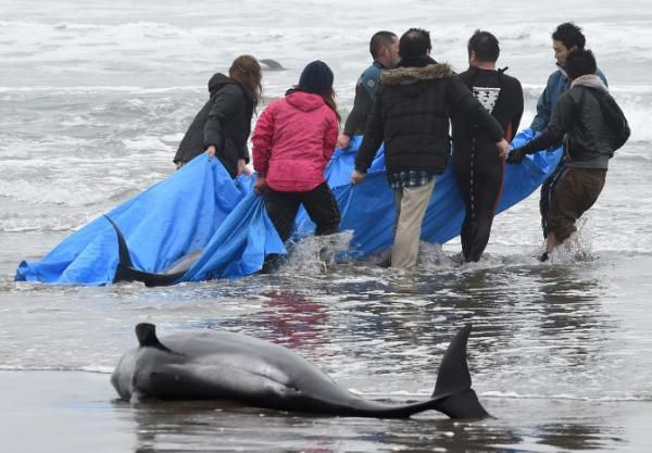 Nearly 150 dolphins feared dead after beaching in Japan - Yahoo News Singapore